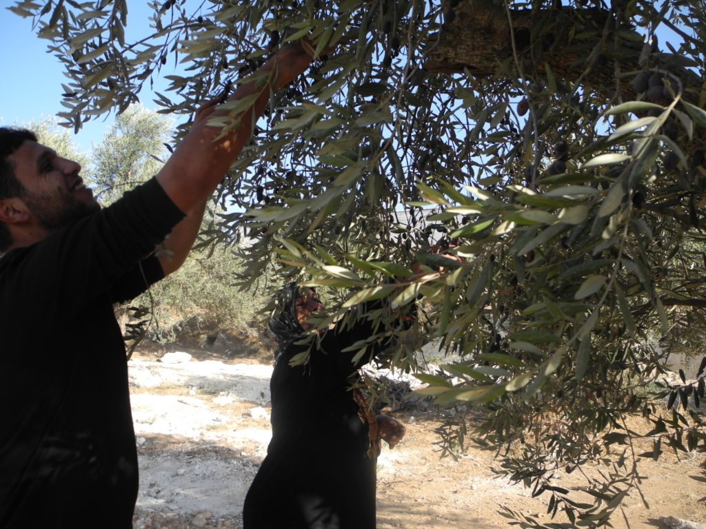 Two people picking olives
